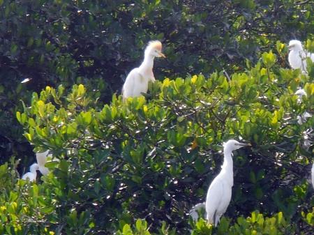 Egret roost