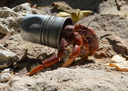 Hermit crab thinks out of the shell