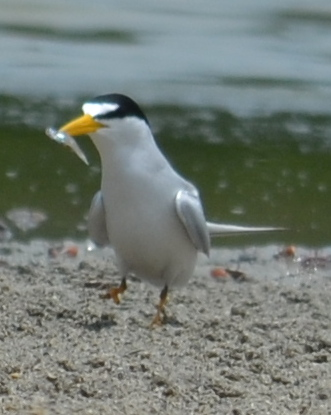 Least Tern with fish dinner