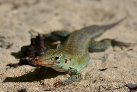 Bird Island lizard