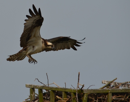 Ospreys always remind us of the Chesapeake
