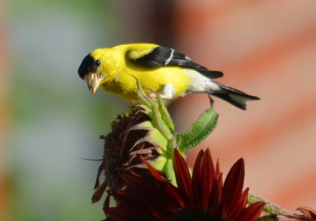 Goldfinch in DC