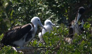 Frigate bird family (l to ) Mom, Chick, Dad