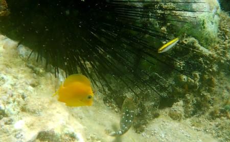Blue Tang juvenile (l) Bluehead juvenile (r)