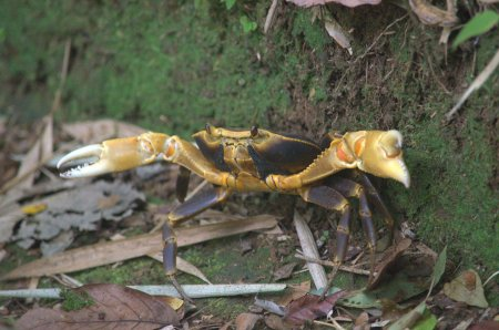 Freshwater crabs were all along the trail