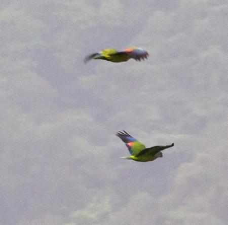 Saint Lucia parrots