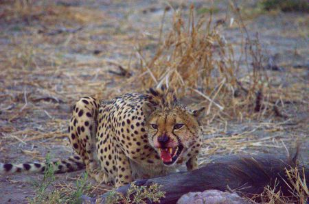 Cheetah eating a warthog in the Okvango Delta, Botswana