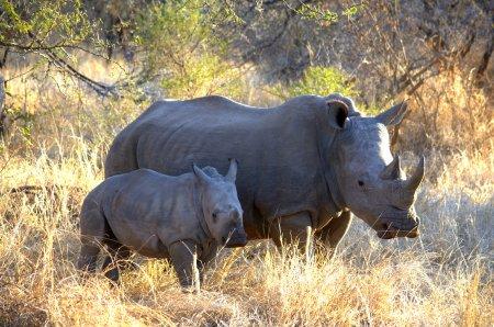 Rhinoceros_8543a