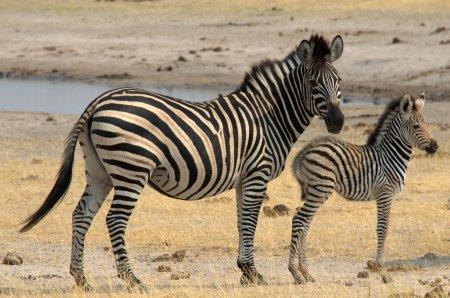zebras_1484a