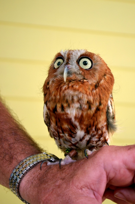 The screech owl we got to pet at the Wild Bird Center's raptor presentation