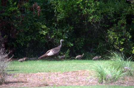 A group of turkeys walk by at the back of our yard.