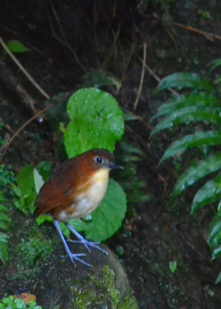 An Antpitta - one of the birds that would pose for food.