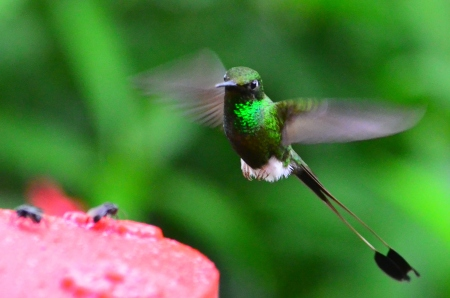 Racket-Tail Hummingbird