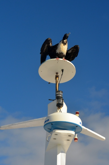 Frigate birds liked to hitchhike on the boat