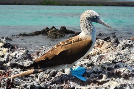The iconic blue-footed boobie