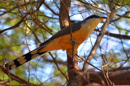 Mangrove Cuckoo we saw when hiking in Chatham Bay, Union Island