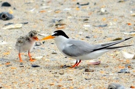 A tern feeding a fish to her chick